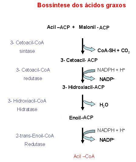 localização celular da biossíntese de ácidos graxos